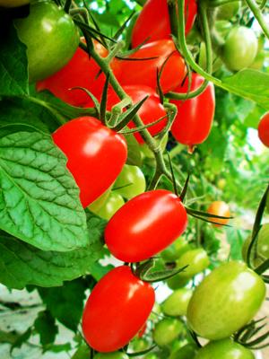 道成寺 雲水 フルーツトマト