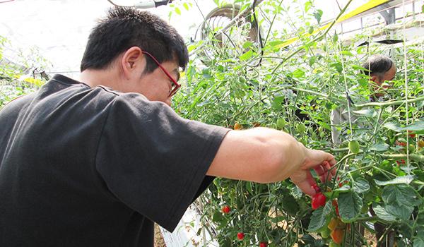 トマト狩り②